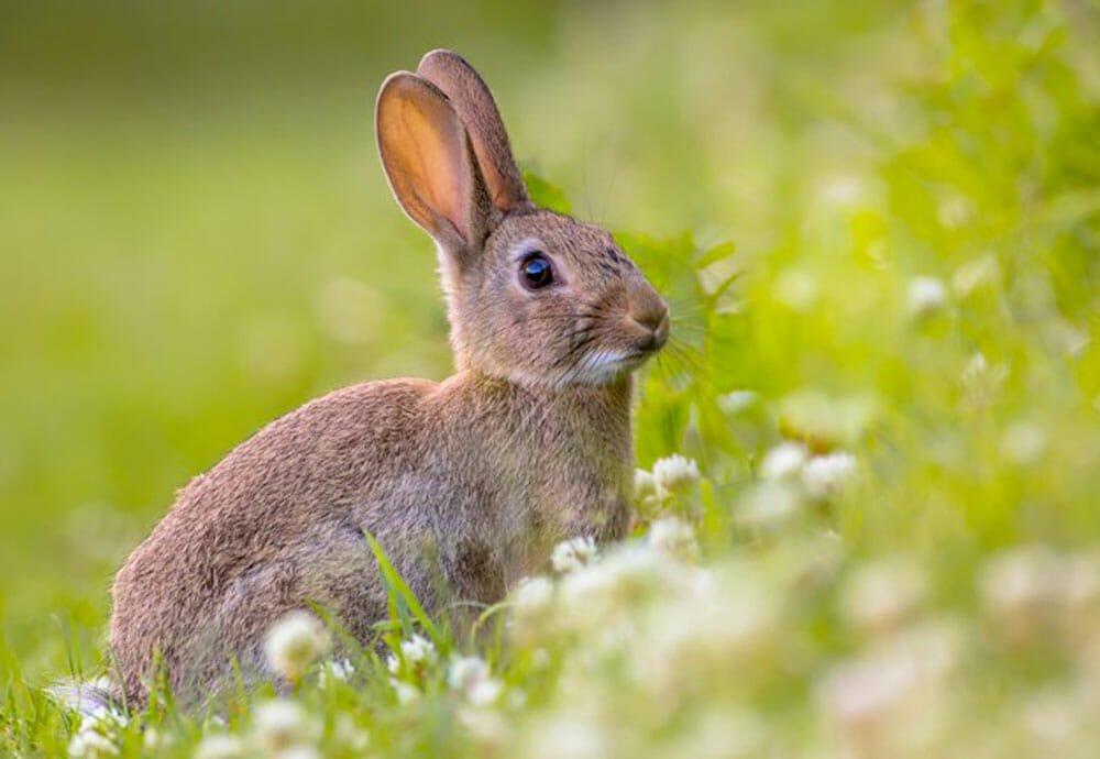 Double victoire pour les lapins