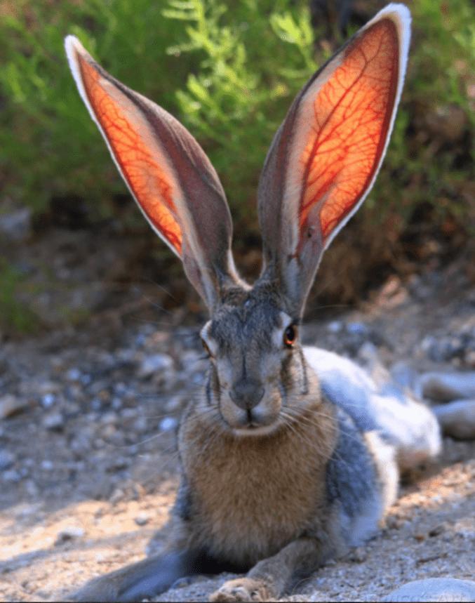 Pourquoi les lapins ont de grandes oreilles? — Rabbits World