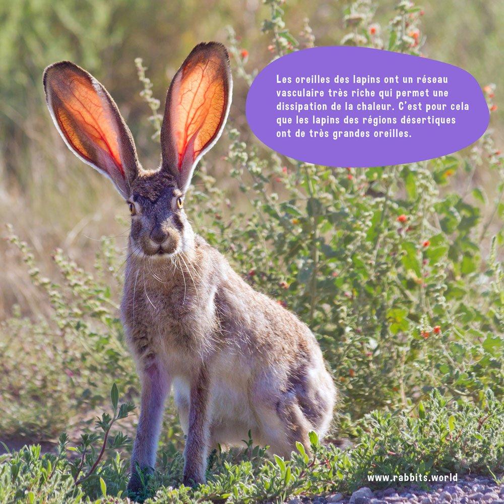 Les lapins du desert ont de grandes oreilles pour dissiper la chaleur