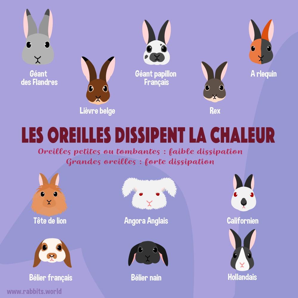 Les oreilles des différentes races de lapin